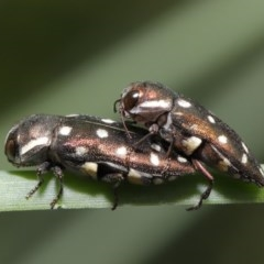 Diphucrania duodecimmaculata (12-spot jewel beetle) at ANBG - 14 Jan 2020 by TimL