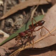 Myrmecia gulosa (Red bull ant) at Seven Mile Beach National Park - 14 Nov 2017 by gerringongTB