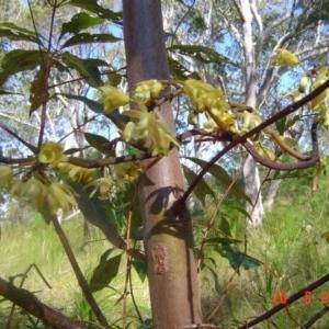 Erythrorchis cassythoides at Tewantin National Park - 20 Aug 2011