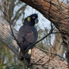 Calyptorhynchus funereus (Yellow-tailed Black-cockatoo) at Bemboka, NSW - 12 Jan 2020 by MaxCampbell