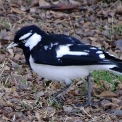 Grallina cyanoleuca (Magpie-lark) at Bruce, ACT - 21 Jul 2018 by JanetRussell