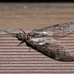 Archichauliodes (Riekochauliodes) guttiferus (Dobsonfly or Fishfly) at ANBG - 14 Jan 2020 by TimL