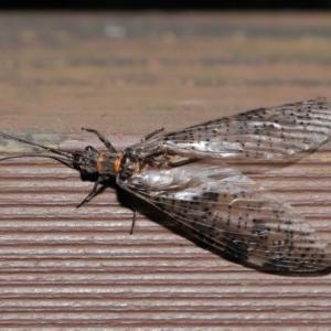 Archichauliodes (Riekochauliodes) guttiferus at ANBG - 14 Jan 2020