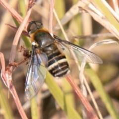 Villa sp. (genus) (Unidentified Villa bee fly) at Cooleman Ridge - 13 Jan 2020 by SWishart