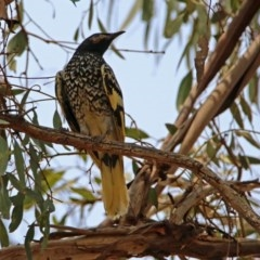 Anthochaera phrygia (Regent Honeyeater) at Watson Woodlands - 15 Jan 2020 by RodDeb