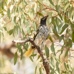 Anthochaera phrygia (Regent Honeyeater) at Watson Woodlands - 15 Jan 2020 by Roger