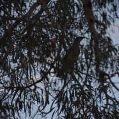 Ptilonorhynchus violaceus (Satin Bowerbird) at Wamboin, NSW - 24 Nov 2019 by natureguy