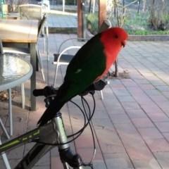 Alisterus scapularis (Australian King-Parrot) at Wamboin, NSW - 19 Aug 2019 by natureguy