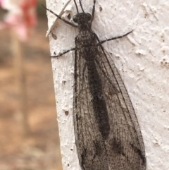 Glenoleon meteoricus (Patch-wing Glenoleon) at Griffith Woodland - 15 Jan 2020 by AlexKirk