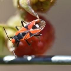 Melanerythrus mactans (A seed bug) at Wamboin, NSW - 3 Dec 2019 by natureguy