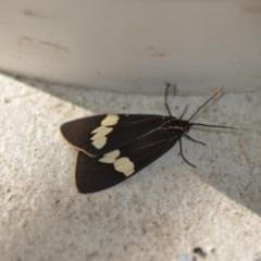 Nyctemera amicus (Senecio or Magpie moth) at Wamboin, NSW - 4 Dec 2019 by natureguy