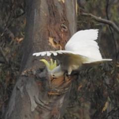 Cacatua galerita (Sulphur-crested Cockatoo) at Black Mountain - 15 Jan 2020 by HelenCross