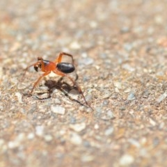 Zodariidae sp. (family) (Unidentified Ant spider or Spotted ground spider) at Wamboin, NSW - 4 Dec 2019 by natureguy