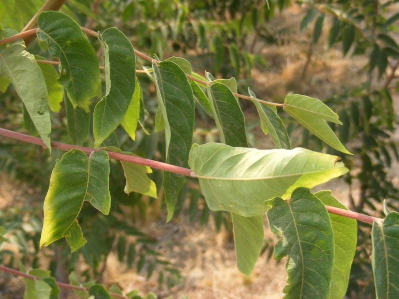 Ailanthus altissima at TEST ONLY - test 2 - 14 Jan 2020