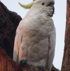 Cacatua galerita (Sulphur-crested Cockatoo) at Red Hill Nature Reserve - 16 Jan 2020 by roymcd