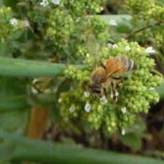 Apis mellifera (European honey bee) at Rugosa at Yass River - 15 Jan 2020 by SenexRugosus