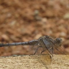 Orthetrum caledonicum (Blue Skimmer) at Sutton, NSW - 14 Jan 2020 by Whirlwind