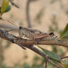 Phaulacridium vittatum (Wingless Grasshopper) at Mount Painter - 16 Jan 2020 by CathB