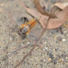 Yoyetta robertsonae (Clicking Ambertail) at Wamboin, NSW - 6 Dec 2019 by natureguy