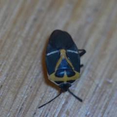 Commius elegans (Cherry Ballart Shield Bug) at Wamboin, NSW - 7 Dec 2019 by natureguy
