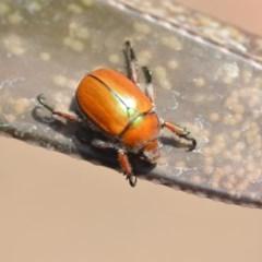 Anoplognathus hirsutus (Hirsute Christmas beetle) at Wamboin, NSW - 12 Dec 2019 by natureguy