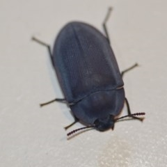 Pterohelaeus planus (Pie dish beetle) at Wamboin, NSW - 12 Dec 2019 by natureguy