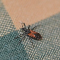 Reduviidae sp. (family) (An assassin bug) at Wamboin, NSW - 16 Dec 2019 by natureguy