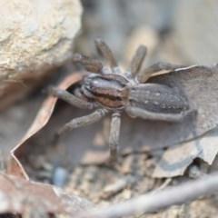 Miturga sp. (genus) (Unidentified False wolf spider) at Wamboin, NSW - 17 Dec 2019 by natureguy