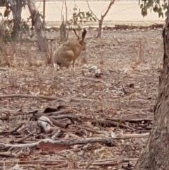 Lepus capensis (Brown Hare) at Forde, ACT - 16 Jan 2020 by Bioparticles