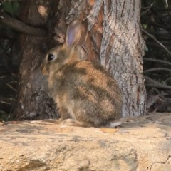 Oryctolagus cuniculus (European Rabbit) at Commonwealth & Kings Parks - 13 Jan 2020 by Alison Milton