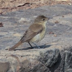 Acrocephalus australis (Australian Reed-Warbler) at Commonwealth & Kings Parks - 13 Jan 2020 by Alison Milton
