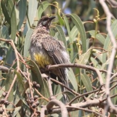 Anthochaera carunculata (Red Wattlebird) at Commonwealth & Kings Parks - 13 Jan 2020 by Alison Milton