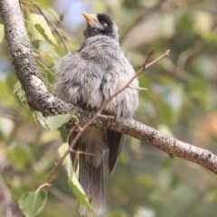 Manorina melanocephala (Noisy Miner) at Commonwealth & Kings Parks - 13 Jan 2020 by AlisonMilton