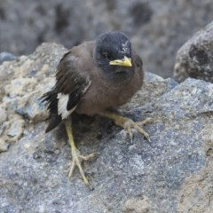 Acridotheres tristis (Common Myna) at Commonwealth & Kings Parks - 13 Jan 2020 by AlisonMilton