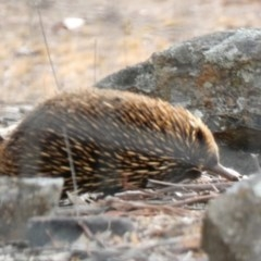Tachyglossus aculeatus (Short-beaked Echidna) at Red Hill Nature Reserve - 17 Jan 2020 by Ct1000