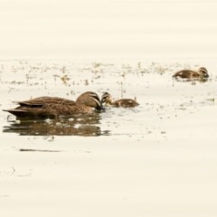 Anas superciliosa (Pacific Black Duck) at Commonwealth & Kings Parks - 14 Jan 2020 by AlisonMilton