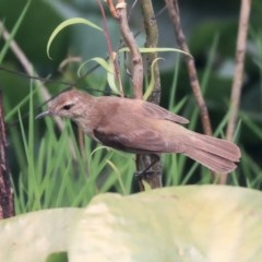 Acrocephalus australis (Australian Reed-Warbler) at Commonwealth & Kings Parks - 14 Jan 2020 by Alison Milton