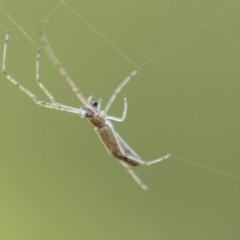 Argyrodes sp. (genus) (TBC) at Commonwealth & Kings Parks - 13 Jan 2020 by AlisonMilton