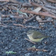 Acanthiza chrysorrhoa (Yellow-rumped Thornbill) at Seven Mile Beach National Park - 12 Aug 2017 by gerringongTB