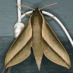 Theretra queenslandi (Queensland Hawk Moth) at Lilli Pilli, NSW - 16 Jan 2020 by jbromilow50