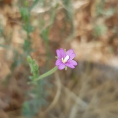 Epilobium billardierianum subsp. cinereum (Hairy Willow Herb) at Nicholls, ACT - 18 Jan 2020 by Bioparticles
