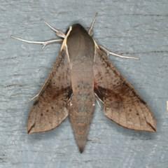 Hippotion scrofa (Coprosma Hawk Moth) at Lilli Pilli, NSW - 16 Jan 2020 by jbromilow50