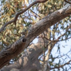 Pardalotus striatus (Striated Pardalote) at Red Hill Nature Reserve - 26 Dec 2019 by JamWiRe
