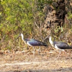 Threskiornis spinicollis (Straw-necked Ibis) at Penrose - 13 Jan 2020 by Aussiegall
