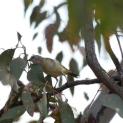 Acanthiza chrysorrhoa (Yellow-rumped Thornbill) at Red Hill Nature Reserve - 17 Jan 2020 by Ct1000