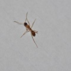 Camponotus claripes (Pale-legged sugar ant) at Wamboin, NSW - 19 Dec 2019 by natureguy