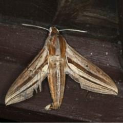 Theretra oldenlandiae (Impatiens Hawk Moth) at Lilli Pilli, NSW - 17 Jan 2020 by jbromilow50