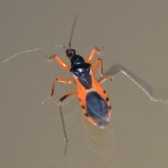 Ectomocoris ornatus (A ground assassin bug) at Wamboin, NSW - 26 Dec 2019 by natureguy