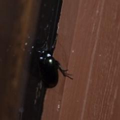 Chalcopteroides columbinus (Rainbow darkling beetle) at Wamboin, NSW - 26 Dec 2019 by natureguy