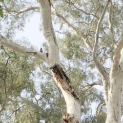 Callocephalon fimbriatum (Gang-gang Cockatoo) at Hughes, ACT - 18 Jan 2020 by ruthkerruish